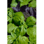 Green and purple basil plants